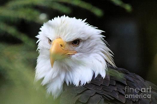 Bald Eagle by Susan Meade
