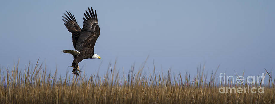 Bald Eagle with Bird in Talons by Dustin K Ryan