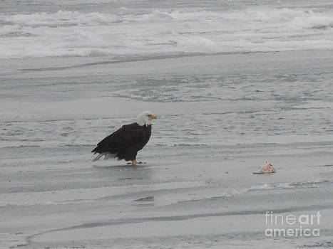 Randy J Heath - Bald Eagle with Salmon on Ice Flow