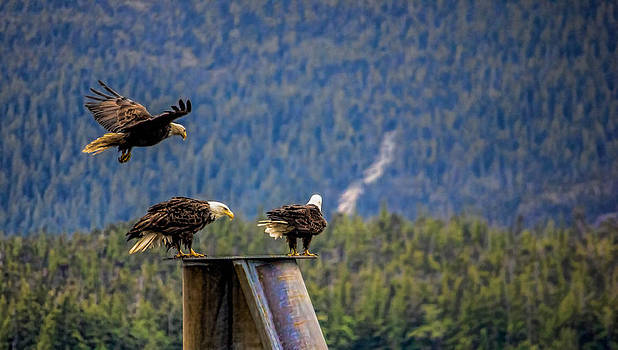 Bald Eagles by Timothy Latta