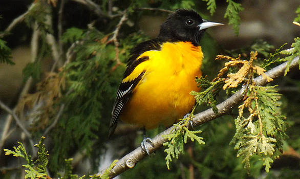 Baltimore Oriole return to spring by Brenda Brown