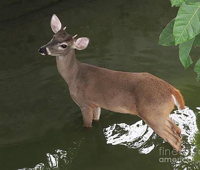 Bambi by Juan Carlos Sepulveda