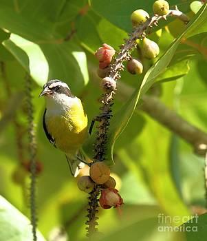 Adam Jewell - Bananaquit Breakfast