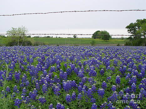 Barbed Wire Bluebonnets by Jerry Bunger