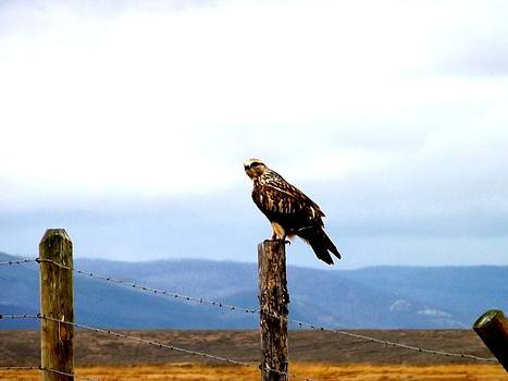 Barbed Wire Hawk by Misty Ann Brewer