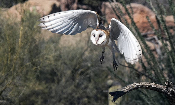 Tam Ryan - Barn Owl Flight