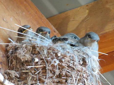 Barn Swallow by Karen Mary Castranova