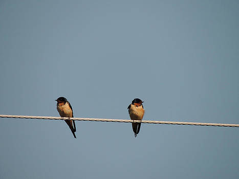 Barn Swallows by Kim Pate