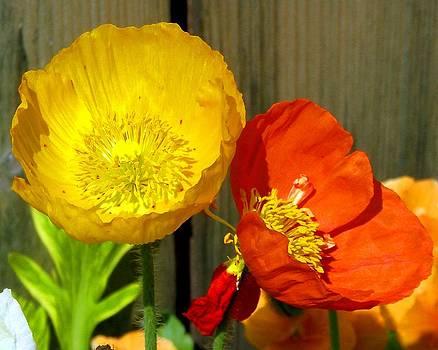 Barndoor Poppies by Christine Maeda