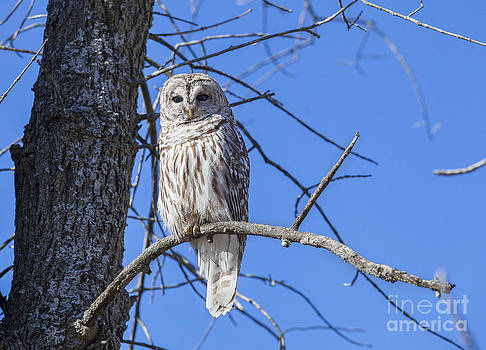Barred Owl - Chouette Rayee by Nicole  Cloutier Photographie Evolution Photography
