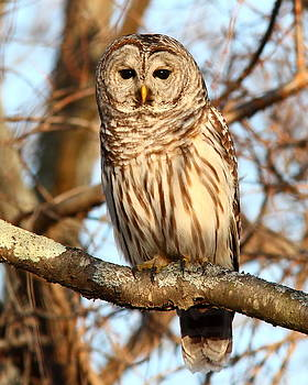 Barred Owl by Henry Gray