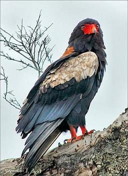 Bateleur Eagle - Terathopius ecaudatus by Judith Meintjes