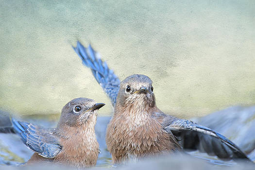 Bathing Bluebird Beauties by Bonnie Barry