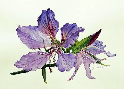 Bauhinia Botanical Painting by Janet Pancho Gupta