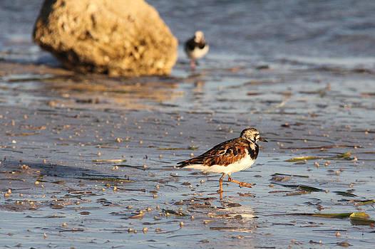 Adrienne Franklin - Beach Birds