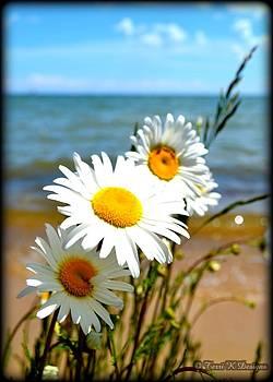 Beach Daisies by Terri K Designs