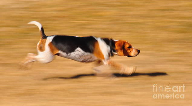 Birches Photography - Beagle in Motion