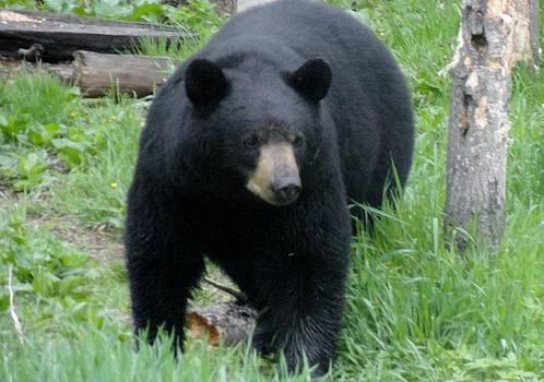Bear Watch  by Jody Benolken