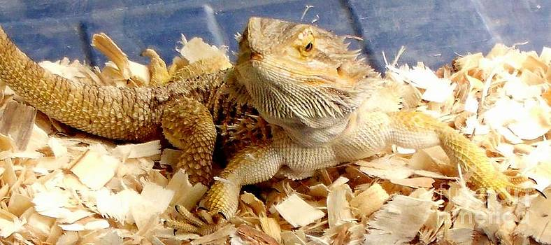 Gail Matthews - Bearded Dragon