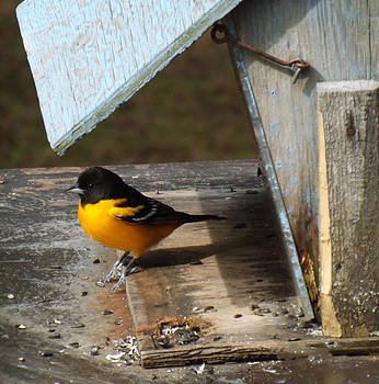 Beautiful Baltimore Oriole by Brenda Brown