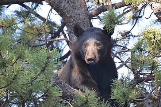 Beautiful black bear in the Rocky Mountains by Greg Davis