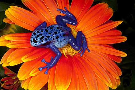 Beautiful blue Frog by Indiana Zuckerman