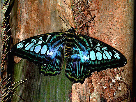 Beautiful Clipper Butterfly by Janet Maloy
