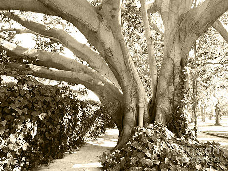 Beautiful Griffith Park Huge Trunk Tree Sepia Black White Vintage Earthy Fine Art Decorative Print by Marie Christine Belkadi
