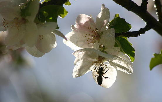 Beautiful Honey Bee by Laurie Penrod