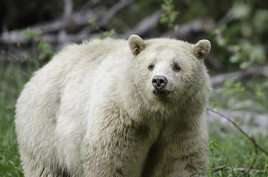 Beautiful Kermode Bear by Lisa Hufnagel