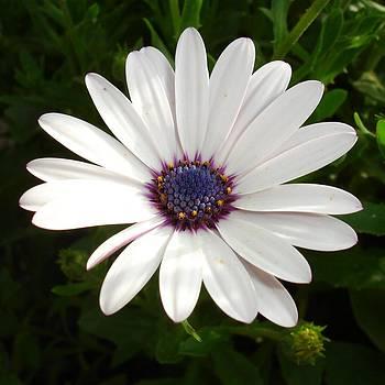 Tracey Harrington-Simpson - Beautiful Osteospermum White Daisy With Purple Center