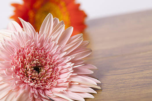 Beautiful pink and orange gerber daisies on wooden background by Arisha Singh