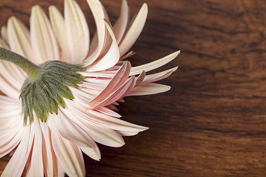 Beautiful pink fallen gerber daisy on wooden background by Arisha Singh