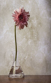 Beautiful pink gerber daisy in clear vase by Arisha Singh