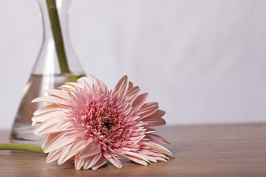 Beautiful pink gerber daisy with glass vase on wooden background by Arisha Singh