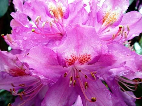 Tracey Harrington-Simpson - Beautiful Pink Rhododendron Pontica