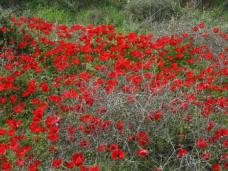 Tracey Harrington-Simpson - Beautiful Red Wild Anemone Flowers In A Spring Field