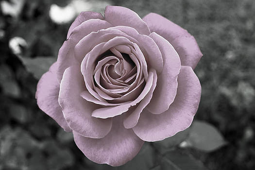 Beautiful single rose by Diana Dimitrova