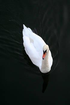 Beautiful Swan by Allan Millora