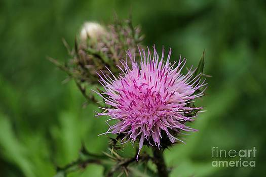 Beautiful Thistle by Theresa Willingham