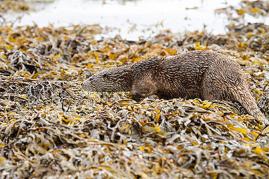 Beautifully camouflaged Otter on the Isle of Mull Scotland UK by Mr Bennett Kent