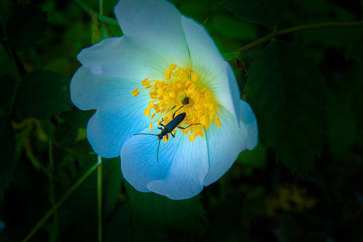Beauty and the Beetle by  Elaine Goss