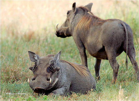 BEAUTY IN THE WARTHOG Phacochoerus aethiopicus by Judith Meintjes