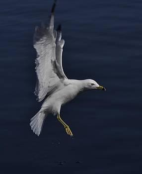 Joy Bradley - Beauty Of A Ring-billed Gull