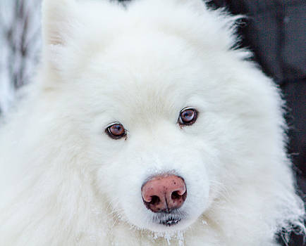 Beauty of the Samoyed by Valerie Pond
