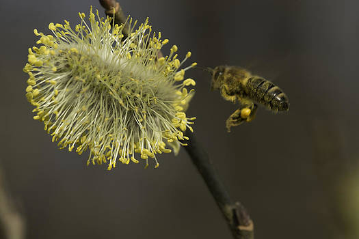 Bee and a male flowering catkin by Patrick Kessler
