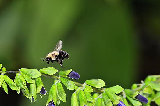 Bee flies by by Don Bangert