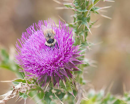 Bee on a Thistle Flower by Todd Soderstrom