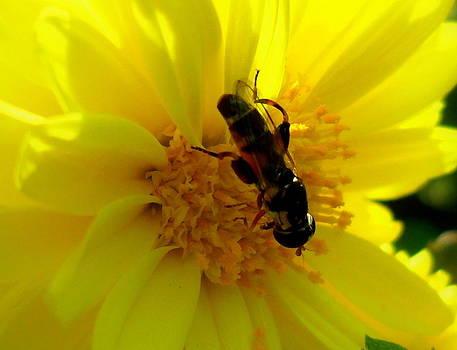 Honey Bee on Sunflower by Salman Ravish