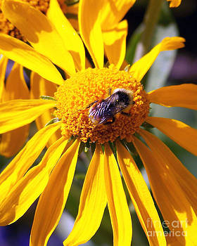 Bee on Sneezeweed by Laurie Klein